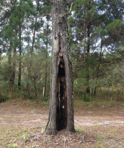 Coast Cypress Pine tree health arborist assessment, Jali Indigenous Protected Area, Wardell via Ballina