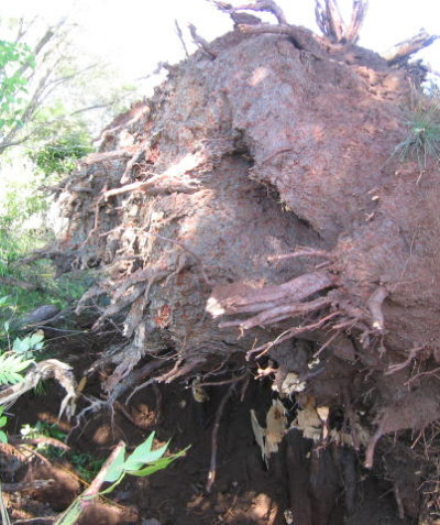 Tree root ball inspection for tree failure analysis, Bangalow