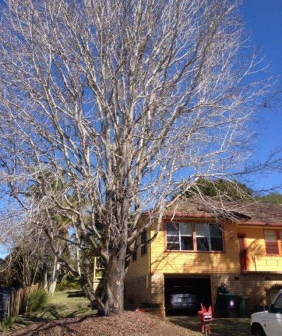 Arborist Visual Tree Assessment (VTA) of Liquidambar in poor health, East Lismore