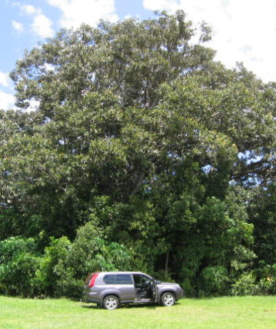 Tree impact arborist assessment report and plan for house construction, Lennox Head