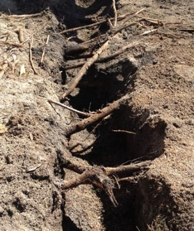 Tree root impact arborist assessment for building footings excavation, Byron Bay