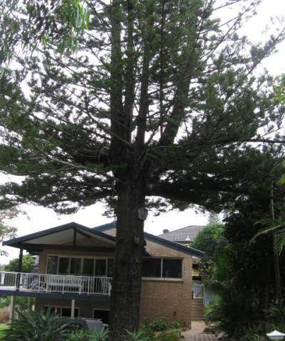 Tree impact assessment and report, Norfolk Island Pine, East Ballina