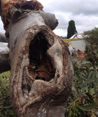 Ecologist tree hollow assessment for reuse following tree removal, Byron Bay