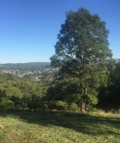 Ecologist koala habitat assessment for subdivision, Lismore