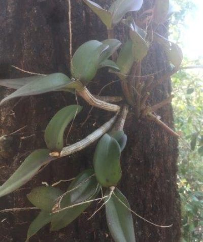 Ironbark Orchid (Dendrobium aemulum) on Northern Grey Ironbark (Eucalyptus siderophloia), pre clearing ecologist assessment, Grafton