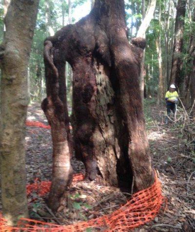 Aboriginal scar tree impact assessment and report, Coolgardie via Ballina