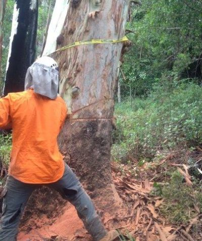 Ecologist monitoring spotter catcher works for tree clearing, Yabbra via Casino