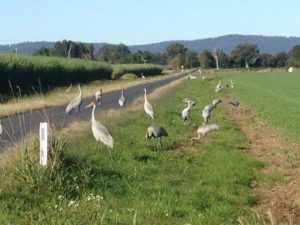 threatened species brolga 300x225 Flora and Fauna Survey
