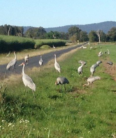Threatened species Brolga party, Ulmarra via Grafton