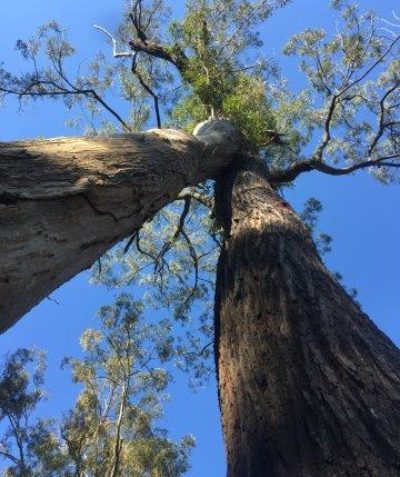 Arborist tree health, condition and risk assessment and report, Pacific Highway upgrade, Tabbimoble via Woodburn