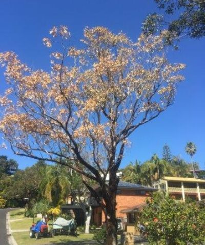 Arborist tree assessment and report for Swamp Mahogany following sudden death, Lennox Head, Ballina Shire Council