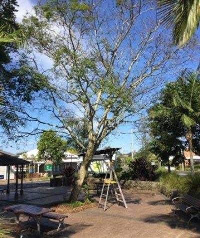 Arborist tree assessment and tree risk report, Main Street Alstonville, Ballina Shire Council