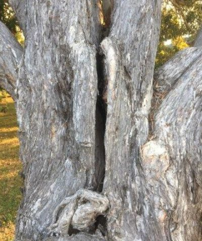Arborist tree risk assessment following paperbark stem crack development, Wollongbar, Ballina Shire Council