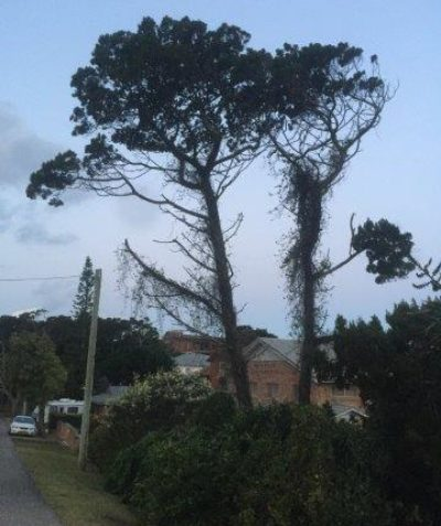 Callitris columellaris, Coast Cypress Pine, arborist tree assessment and risk report, East Ballina, Ballina Shire Council